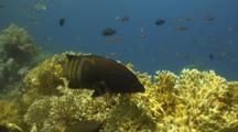 Coral Grouper Over Fire Coral
