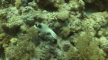 Masked Pufferfish Over Coral Reef