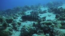 Red Sea Coral Grouper And Cleaner Wrasse