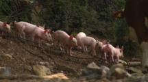 Piglets Run Past Interested Cow