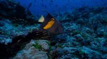 Arabian Angelfish At Coral Reef, Red Sea