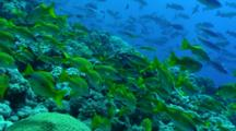 Schooling Coral Fish Over Coral Reef, Red Sea