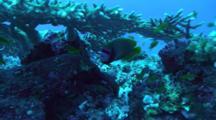 Emperor Angelfish Under Table Coral, Red Sea