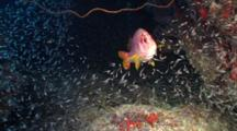 Sabre Squirrelfish Plus Schooling Glas Fish, Red Sea