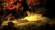 Slipper Lobster, Mediterranean Sea