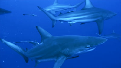 close encounter with group of oceanic blacktip sharks in open sea,sharks circling,bait in water,uw photographer in background,south africa