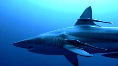 close encounter with oceanic blacktip shark in open sea,sharks circles around camera,tracked,south africa