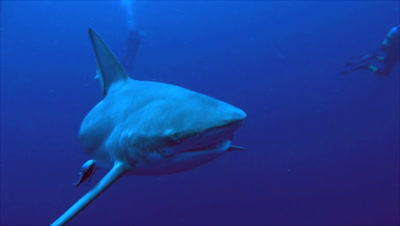 close encounter with oceanic blacktip shark in open sea, sharks moves towards camera, turns away, scuba divers in background, south africa