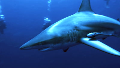 oceanic blacktip shark moves slowly within a group of scubadivers, turns to camera, close, South Africa