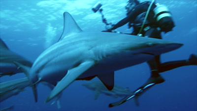 short clip of oceanic blacktip shark very close in front of camera, scuba diver in background, other sharks around, South Africa