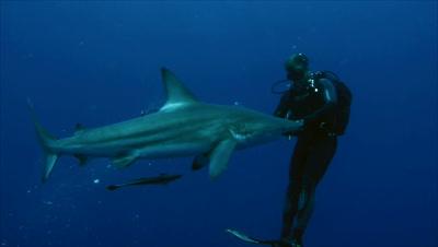 scuba diver feeds single oceanic blacktip shark in open water, puts bait into water, shark feeds, South Africa
