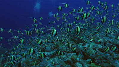 big shoal of moorish idols, assembling over coral reef, moving, blue water background, Palau