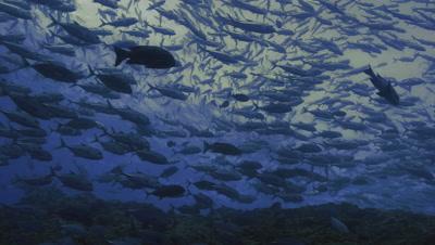 giant school of big eye jack fish over coral reef, schooling bigeye trevally, Palau