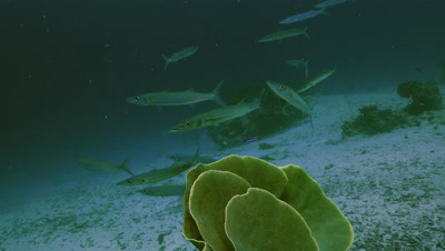total shot of small group of bigeye barracudas being cleaned on cleaning station,coral reef,Palau