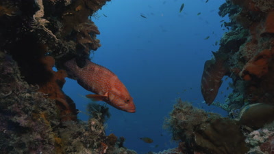 two coral groupers filmed in ship wreck,calm moment,lights used,Palau