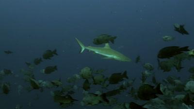 grey reef shark swims through shoal of black snapper,Palau