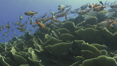 school of squirrelfish moving over giant colony of cabbage corals,Palau