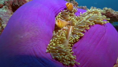 clownfish in anemone,tentacles,purple based anemone,Palau