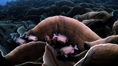 swimming slowly over giant colony of Cabbage corals,hiding squirrel fishes,Palau