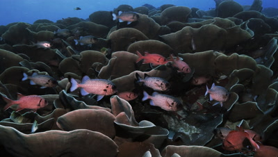 total shot of squirrel fish hiding in a huge colony of cabbage corals,Palau