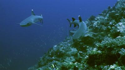 meeting two whitetip reefsharks along reef wall,approaching,Palau