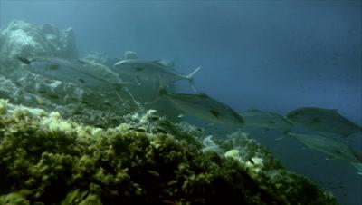 underwater shot of schooling Amber jacks on rocky reef