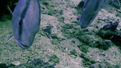 Underwater shot of two Amber jacks on cleaning station,Malpelo island