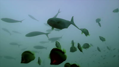 underwater shot of rainbow runner being cleaned by some barber fish on cleaning station in blue water