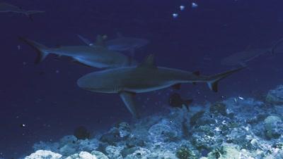 underwater track shot of Grey Reefshark cruising along reef drop off