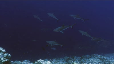 under water wide shot of many Gray Reefsharks cruise at coral reef wall,blue water background,coral reef