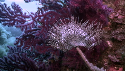 underwater shot of fan worm in front of red gorgonia