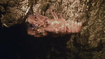 underwater shot of Slipper lobster walking in underwater cave