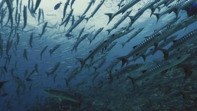 School of barracudas in coral reef