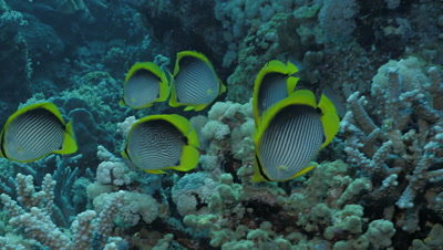 school of blackback butterfly fish in Red Sea coral reef