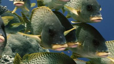 school of blackspotted sweetlips in coral reef