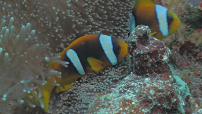 active clownfish in anemone, tentacles, Red Sea