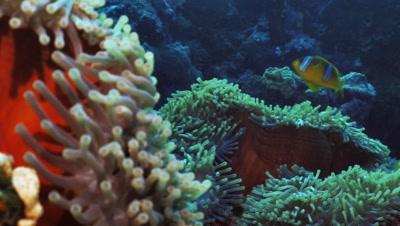 clown fish in anemone, pan shot, huge field of anemones