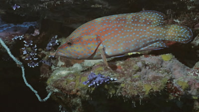 portrait shot of coral grouper resting in coral reef, Red Sea