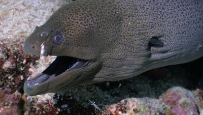 giant moray eel cleaned by tiny cleaning shrimp, close shot