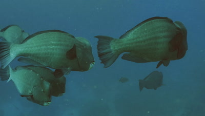 school of Green humphead parrot fishes swimming slowly