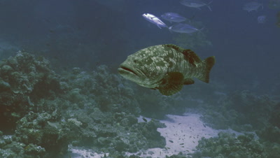 huge Malabar grouper swimming slowly in coral reef