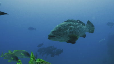 huge Malabar grouper swimming slowly over coral reef