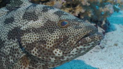 close up under water shot of Malabar grouper resting on sea floor