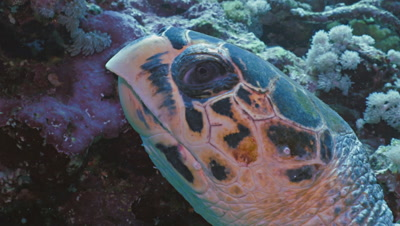 close up shot of hawksbill turtle