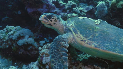 hawksbill turtle resting in coral reef