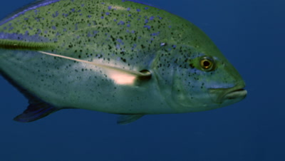 approaching blue fin trevally, close encounter