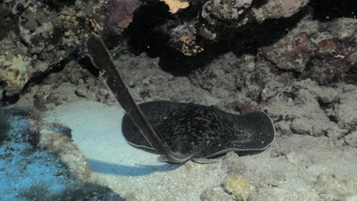 marbled stingray in underwater cave, showing his tale