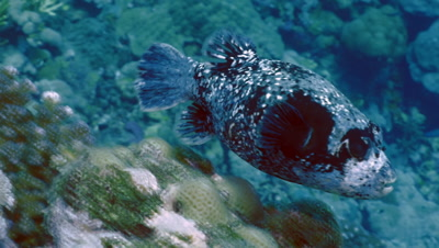 masked puffer fish at cleaning station