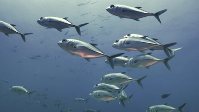 small school of big eye trevally at coral reef