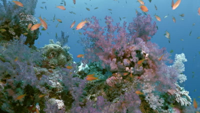 swimming along coral reef block full of soft corals